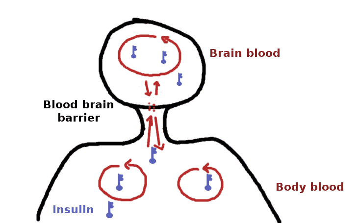blood brain barrier and insulin - schema