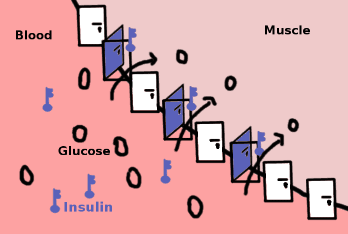 Insulin is the key that enables absorption of the glucose into the muscles and organs - scheme